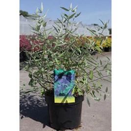 Caryopteris clandonensis Plant - Ferndown
