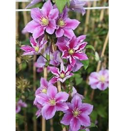 Clematis Plant - Piilu