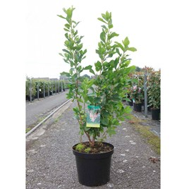 Clethra Alnifolia  Ruby Spice