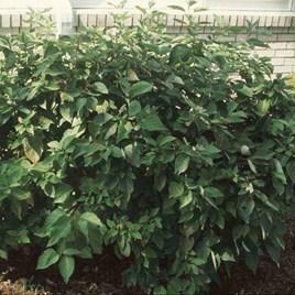 Cornus sericea Plant - Isanti