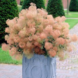 Cotinus Coggygria Young Lady 3.5 Litre Pot x 2 Inc: