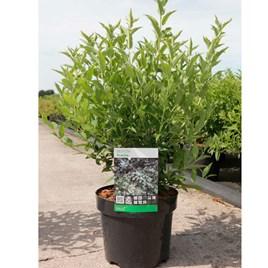 Deutzia gracilis Plant