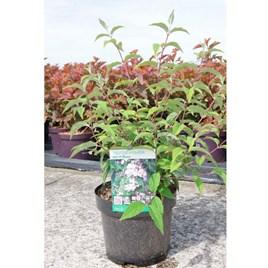 Deutzia Hybrida Mont Rose