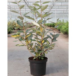 Elaeagnus ebbingei Plant - Eleador®