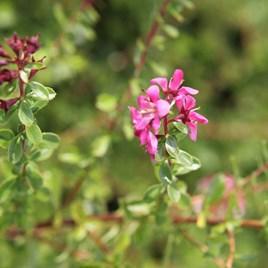 Escallonia Plant - Darts Rosyred
