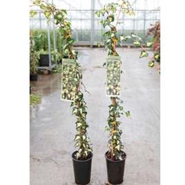 Hedera helix Plant - Goldheart