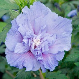 Hibiscus syr. Plant - Blue Chiffon Noble