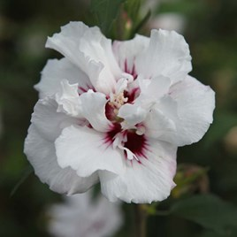 Hibiscus syriacus Plant - Lady Stanley
