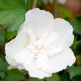 Hibiscus syriacus Plant - White Chiffon®