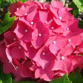 Hydrangea macrophylla Leuchtfeuer