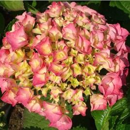 Hydrangea M. Rosita