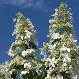 Hydrangea paniculata Plant - Levana