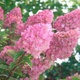 Hydrangea paniculata Plant - Sundae Fraise®