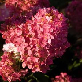 Hydrangea paniculata Plant - Vanille Fraise®