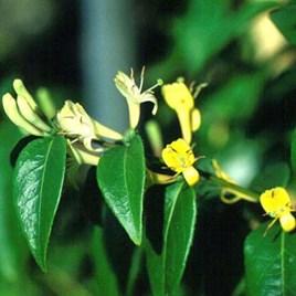 Lonicera japonica Plant - Halliana