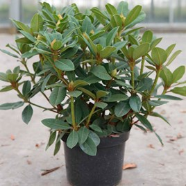 Rhododendron Plant - Red Jack