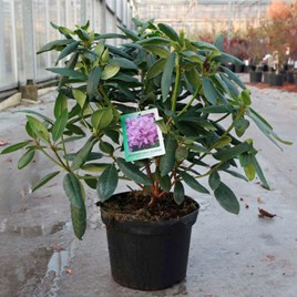 Rhododendron Plant - Roseum Elegans