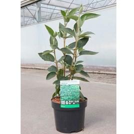 Viburnum lantana Plant - Mohican