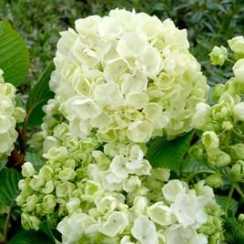 Viburnum plicatum Plant - Popcorn