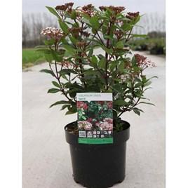 Viburnum tinus Plant - Spirit