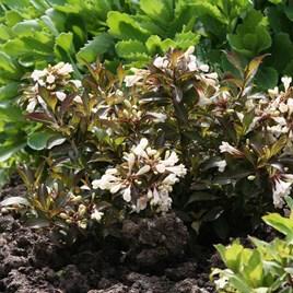 Weigela Plant - Candida