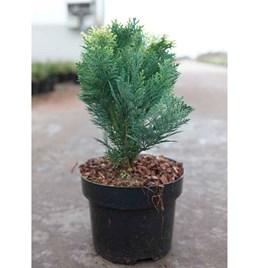 Chamaecyparis l. Plant - Pygmaea Argentea