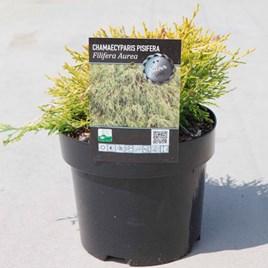 Chamaecyparis p. Plant - Filifera Aurea