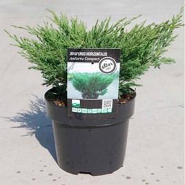 Juniperus horizontalis Plant - Andorra Compact