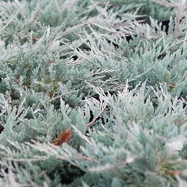 Juniperus Hor. Blue Chip
