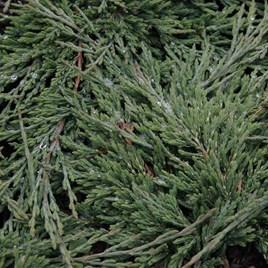 Juniperus Hor. Prince Of Wales