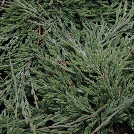 Juniperus Hor. Prince Of Wales