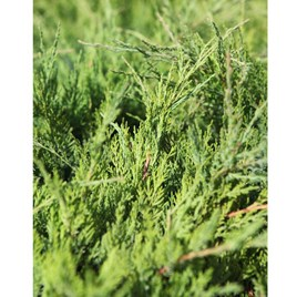 Juniperus Pfitzeriana Plant - King of Spring