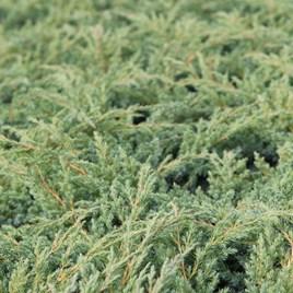Juniperus Squamata Dream Joy