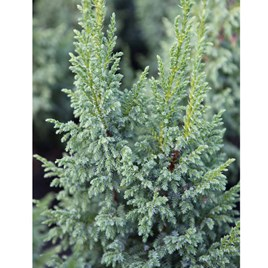 Juniperus Squamata Little Joana