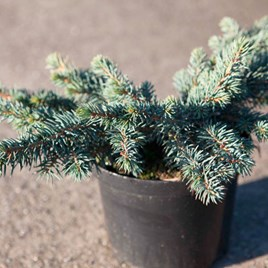 Picea Pungens Waldbrunn
