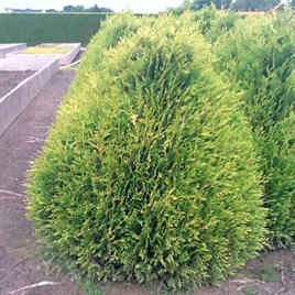 Thuja Plicata Little Boy