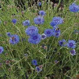 Cornflower Double Blue