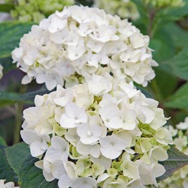 Hydrangea Endless Summer The Bride
