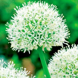 Allium Mount Everest