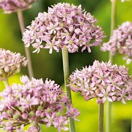 Allium Pink Jewel