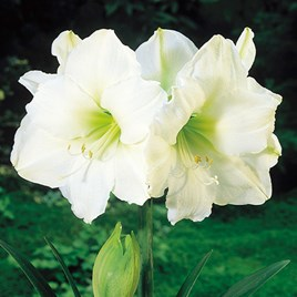 Indoor Amaryllis White(1)