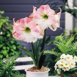 Indoor Amaryllis Appleblossom(1)