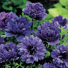 Anemone Twin Pack 40