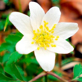 Anemone Rhizomes - Nemerosa (15)