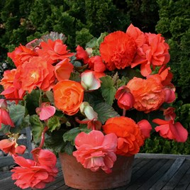 Begonia Tubers - Scented Orange(5)
