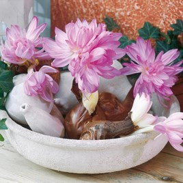 Colchicum Bulbs - Waterlily
