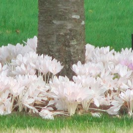 Colchicum Bulbs - Collection (8)