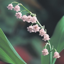 Lily Of The Valley Majalis Rosea 3 Pips