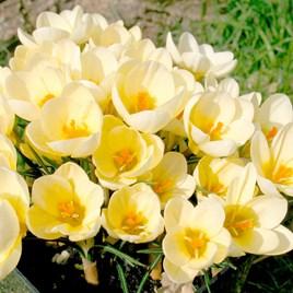 Crocus Bulbs - Cream Beauty