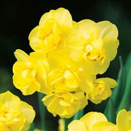 Narcissus Bulbs - Yellow  Cheerfulness 20
